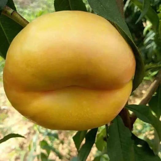 山东省临沂市平邑县 我家里的黄蟠桃苗货真价实。出售了。