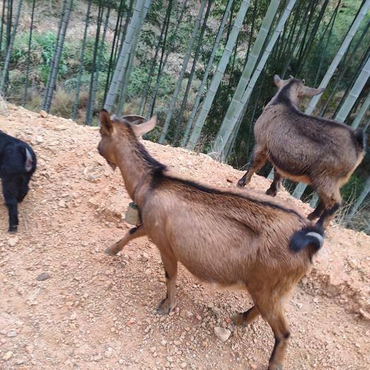 福建省三明市尤溪县 纯放养山羊