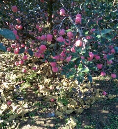 山东省青岛市莱西市 优质纸代75-80红富士苹果