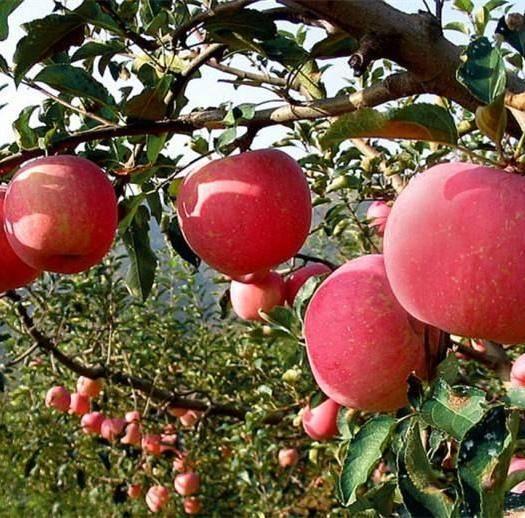 山东省临沂市平邑县润太1号苹果树苗 1~1.5米