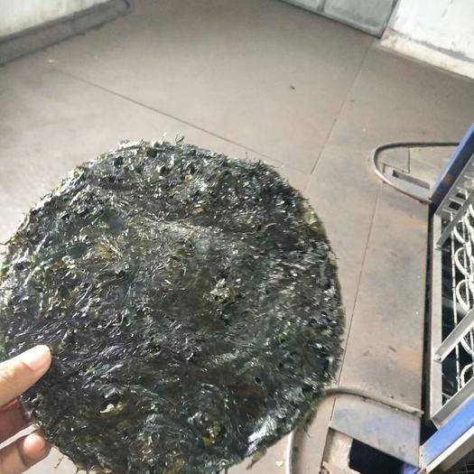 浙江省温州市苍南县 自家养殖的二水紫菜