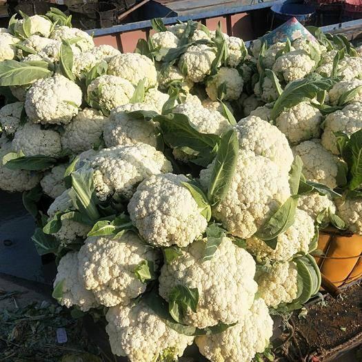 浙江省温州市瑞安市有机花菜 松花菜上市了