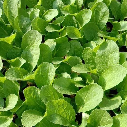 云南省玉溪市通海县白花菜花 出售各种蔬菜苗