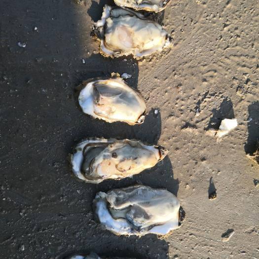 山东省威海市乳山市 乳山牡蛎,自有三万亩海区,货源充足,保证质量。