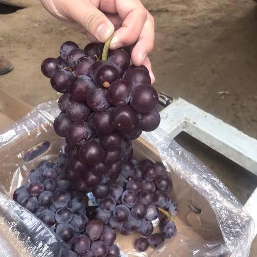 河北省石家莊市晉州市 新鮮巨峰葡萄頭茬果二茬果都有口感好不掉粒