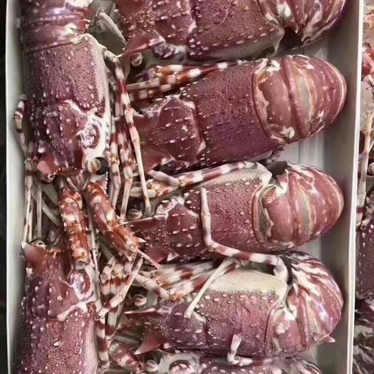 广东省广州市花都区 刺身级别冷冻大虾莫桑比克野生玫瑰龙虾澳洲花龙虾1500g/盒