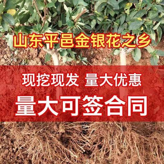 山东省临沂市平邑县 金银花基地,四季金银花苗木,包成活,现挖现发