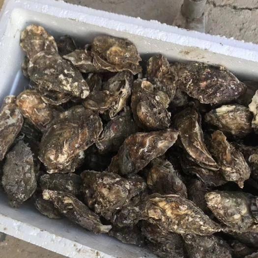 辽宁省大连市长海县 大连自然生长的牡蛎