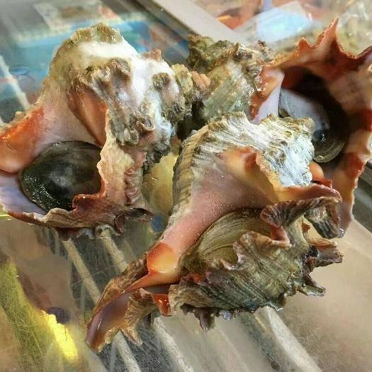 广东省广州市花都区 熟冻印尼活冻千手螺大海螺刺螺老虎螺太阳螺3-6两/只10kg