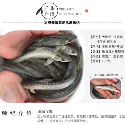 重庆市合川区 鳕鱼苗