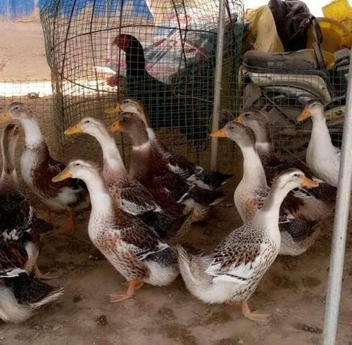 湖南省长沙市长沙县 大种肉鸭苗