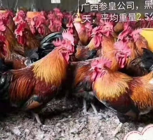 云南省昆明市官渡区瑶鸡苗 公