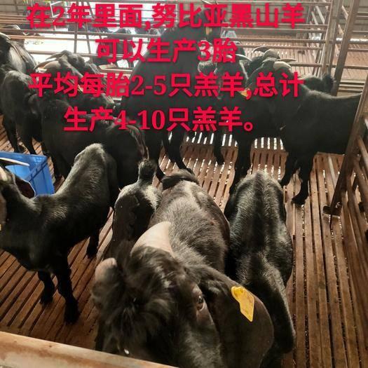 广东省清远市清城区 广东梅州,黑山羊,种羊,羊羔,活羊供应