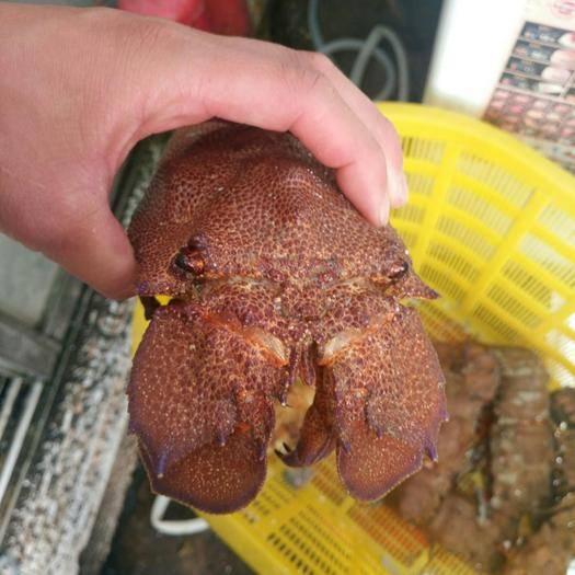 上海市宝山区 西非  琵琶虾  犀牛虾