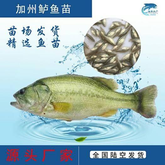 广东省广州市花都区 鱼苗 优质加州鲈鱼苗 优鲈一号 鱼苗批发 基地直销
