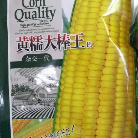 河南省商丘市夏邑县 黄糯大棒王糯玉米种子
