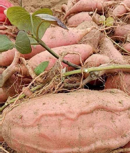 安徽省滁州市明光市 山東農科院出的脫毒煙薯25