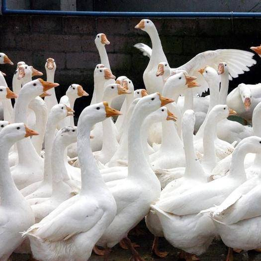 广西壮族自治区南宁市西乡塘区 白鹅苗,全国包送,包打疫苗,承诺绝无假货。
