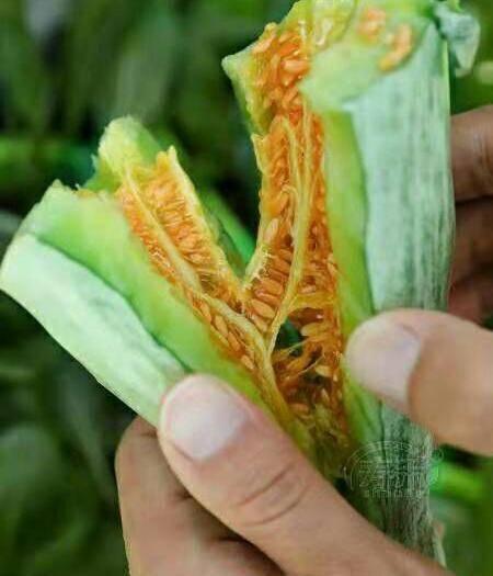 山东省潍坊市青州市 正品羊角蜜瓜酥甜瓜种子种籽苗蔬菜孑脆超甜高产四季香瓜春季瓜苗