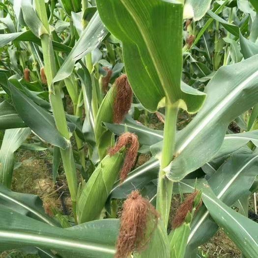 广西壮族自治区贺州市八步区 暄糯255玉米种子
