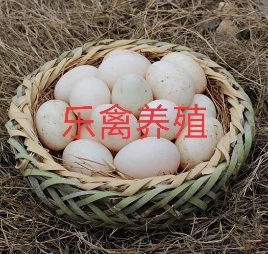 江蘇省宿遷市沭陽縣金定鴨蛋 麻鴨,金定鴨種蛋,可孵化,箱裝蛋托包郵 受精率90%