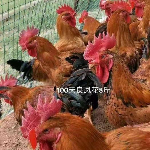 四川省成都市蒲江县 麻红鸡苗批发  快大型黄脚麻红鸡苗价格 青脚麻肉鸡苗