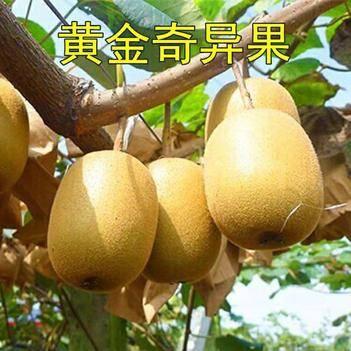 黃金奇異果苗 嫁接苗晚熟品種 基地直銷 南北方種植 品種保證 提供技術