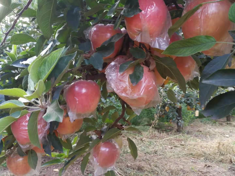 紅星蘋果大量出庫將軍75以上膜袋應季脆甜水果批發可一件代發