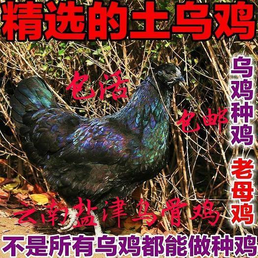 云南省昭通市盐津县 云南大山上的乌骨鸡散养 种鸡 乌骨鸡苗  包活包邮