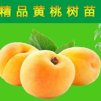 黃桃樹苗 優質黃桃果苗六月早熟苗,果樹苗技術共享,果實可商議回收代賣