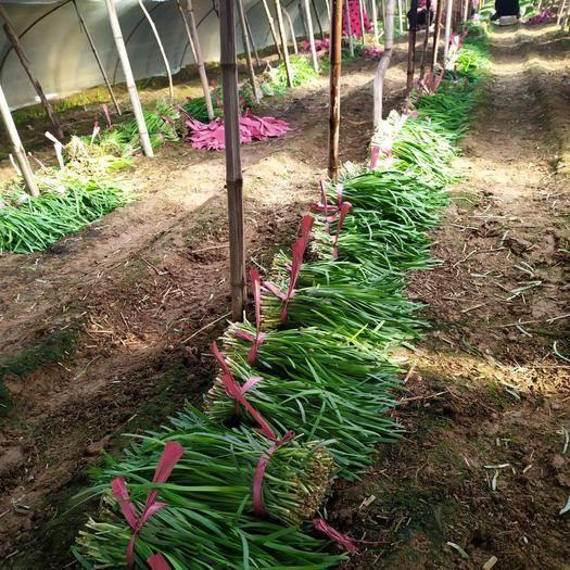 河南省鹤壁市浚县 依托三十多年韭菜种植基地,大量供应优质冷暖棚韭菜
