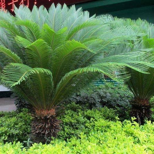 山东省临沂市平邑县 铁树  苏铁植物   四季常青  绿化植被