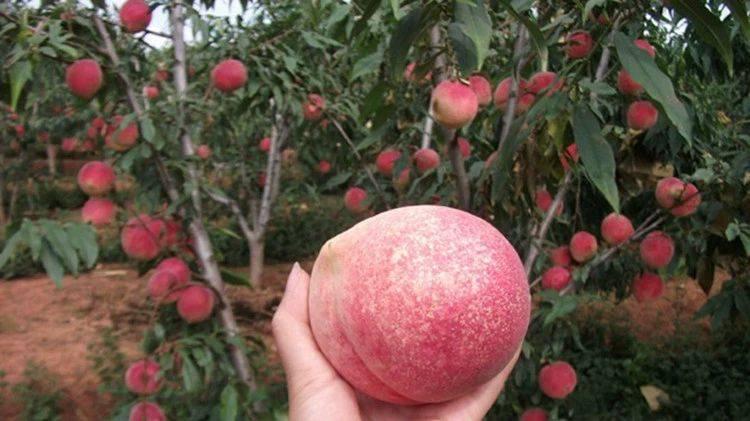 晚熟桃樹苗 巨型冬桃苗 雪桃 冬桃 中華桃南北方種植