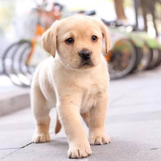 江苏省苏州市常熟市 拉布拉多活体幼犬幼崽奶白拉拉神犬小七宠物狗导盲犬纯种活体幼犬