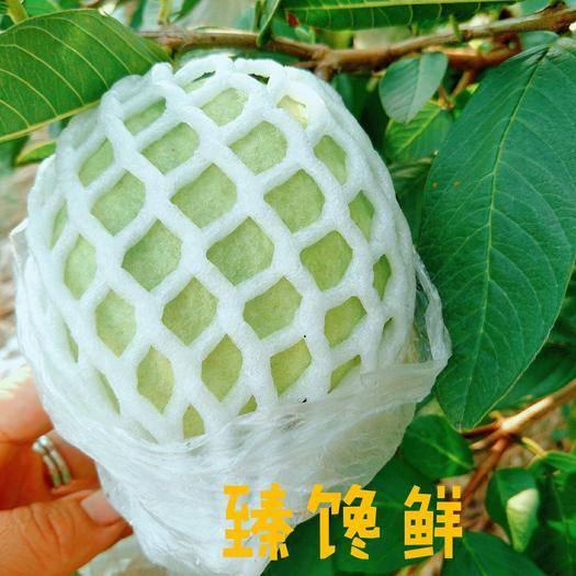 福建省漳州市长泰县 漳州当季孕妇首选白心芭乐番石榴产地直供