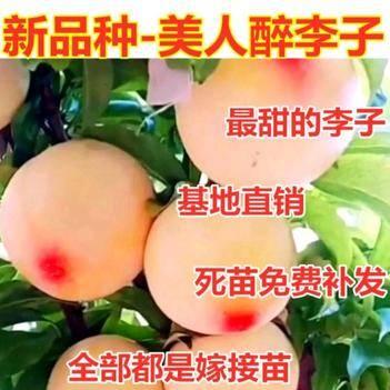 新品种美人醉李子树苗每棵都是嫁接树苗南北方种植当年结果