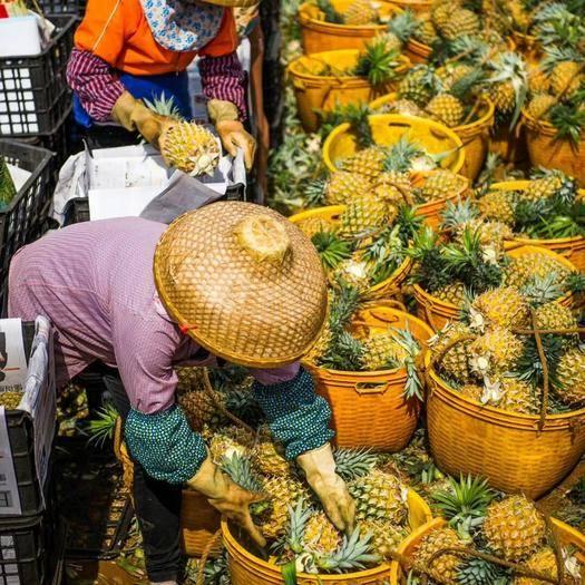 广东省湛江市徐闻县 菠萝产地大量供应