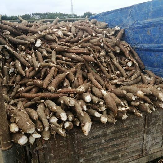 广西壮族自治区南宁市西乡塘区 木薯大量有货天天可以发大车大宗批发