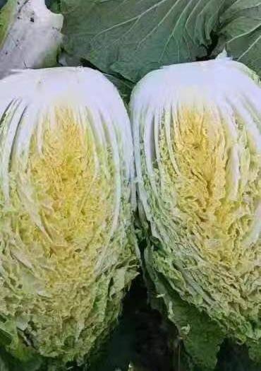 湖南省常德市汉寿县 黄心菜代收代发。价格电 话联系