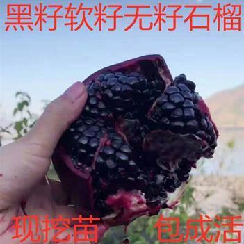 黑籽甜寶石榴苗 大果黑籽甜石榴樹苗 軟籽石榴果樹苗南方北方