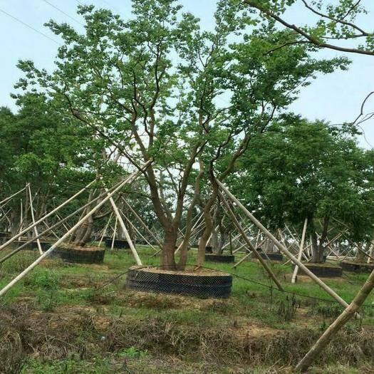 江苏省南京市浦口区 供应5-50公分独杆朴树 大朴树价格 丛生朴树