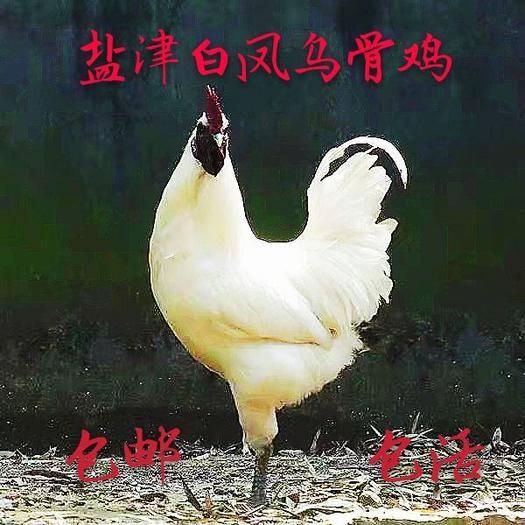 云南省昭通市盐津县 (白凤乌骨鸡)云南盐津白凤乌骨鸡脱温2只包邮包活