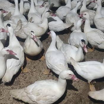 白番鸭 6-7斤 母 半圈养半散养