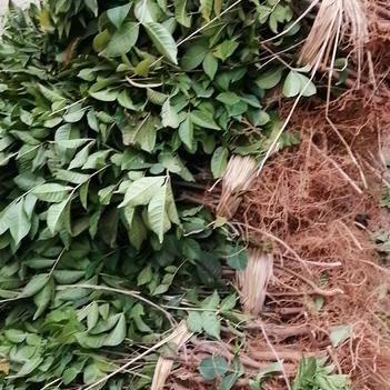吴茱萸苗 江西樟树中花吴茱萸扦插苗,品质纯,质量优,药含量高,存活率高