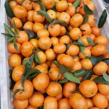 沙糖桔 中果偏大,20万斤,果面干净,价格2.2一斤。