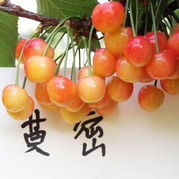 大樱桃树苗 黄蜜樱桃苗 水晶黄樱桃苗嫁接樱桃苗南北方种植果树