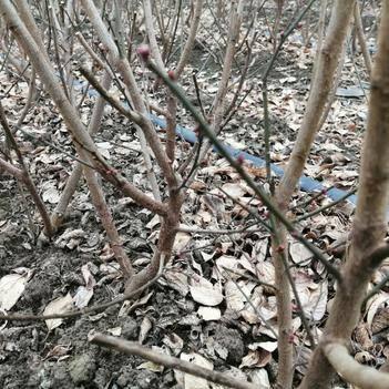 大量供应带蕾扦插梅花骨里红2年苗