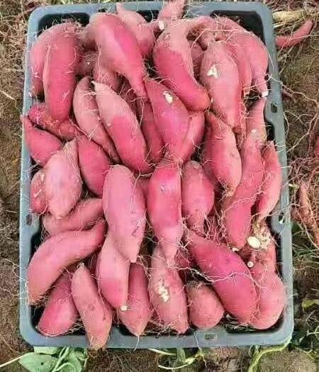 海南省澄邁縣澄邁縣 海南沙地小香薯 板栗薯 產地批發