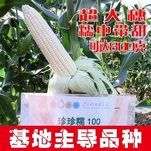 河南省商丘市夏邑縣 珍珍糯100玉米種子,超大棒,糯中帶甜,