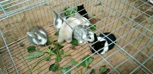 江西省宜春市豐城市月月兔 精品小兔,顏色亮麗,成活率高,肉質好,包教養殖技術。